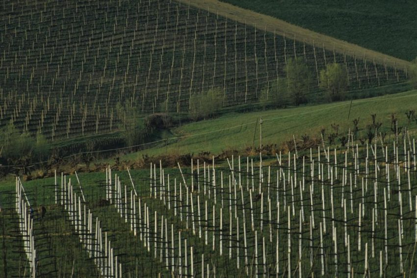 Vineyards in Piedmont of Italy